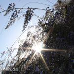 Blauregen in der Sonne