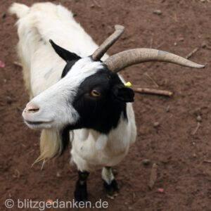 Ein Tier sieht Ursache und Wirkung ganz anders als ein Mensch. - Hier: Ein Ziegenbock.